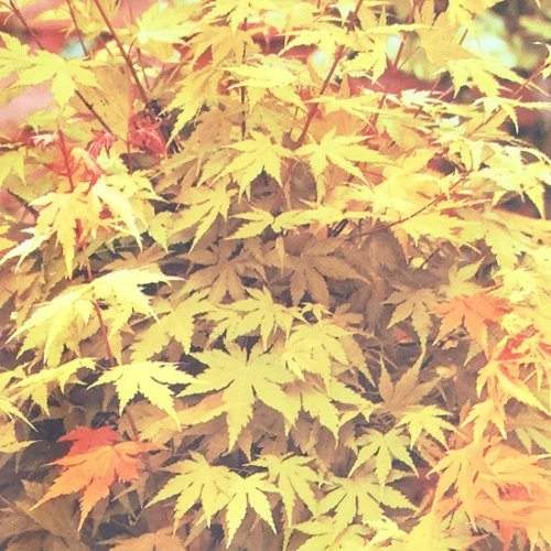 Acer Palmatum Orange Dream 4 Litre Bridgend Garden Centre
