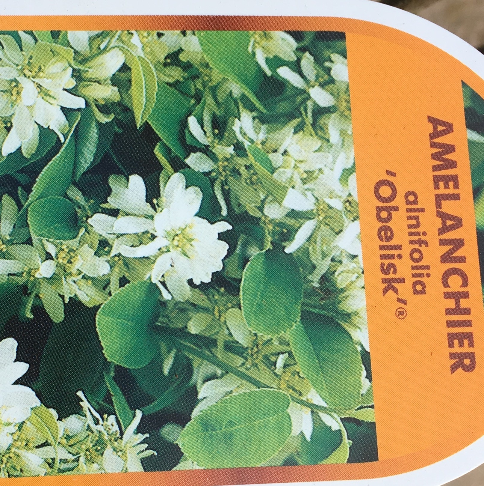 amelanchier alnifolia obelisk 5 litre bridgend garden centre. Black Bedroom Furniture Sets. Home Design Ideas