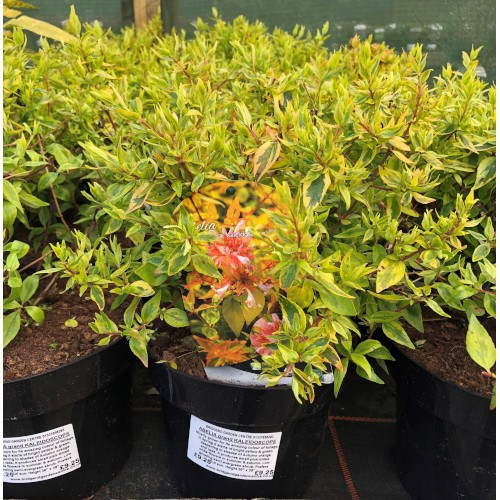 Abelia Grandiflora Kleidoscope 2 Litre Bridgend Garden Centre