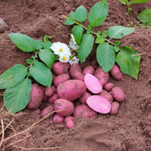 Heidi Red Organic Maincrop Seed Potatoes 1 Kilo - Bridgend Garden ...
